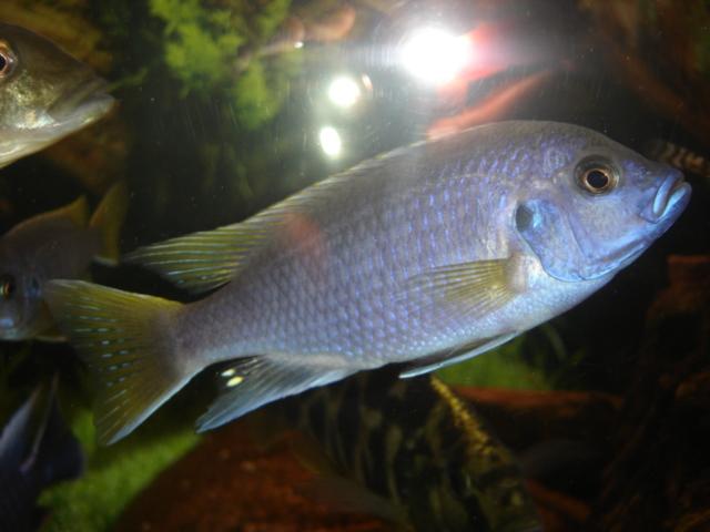 pseudotropheusaceiyellowtailm.jpg